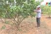 Kỹ thuật canh tác hữu cơ trên cây có múi
