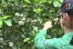 Chăm sóc cây bưởi giai đoạn ra hoa và đậu quả non
