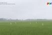 Chăm sóc và bón thúc đồng cho lúa mùa