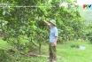 Chăm sóc và phòng trừ sâu bệnh trên cây bưởi giai đoạn ra hoa và quả non