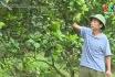 Chăm sóc và phòng trừ sâu bệnh trên cây bưới thời kỳ đậu quả