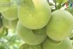 Công nghệ và đời sống - Hiệu quả từ phương pháp ghép cây ăn quả