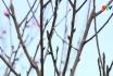 Vườn Đào đón Xuân