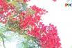 Khoảnh khắc cuộc sống: Hoa phượng sân trường