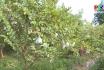 Khởi nghiệp - Thành công từ trồng cây ổi