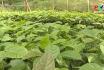 Muôn cách làm giàu: Khá lên từ trồng cây dược liệu