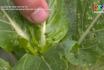 Chăm sóc, phòng trừ dịch hải tổng hợp IPM trên cây rau màu
