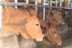 Thực hiện kê khai chăn nuôi