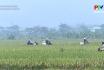 Xây dựng nông thôn mới - Dồn đổi ruộng đất ở Cẩm Khê