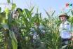 Hiệu quả từ trồng ngô sinh khối