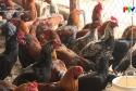 Khởi nghiệp - Thành công từ mô hình gà lai chọi