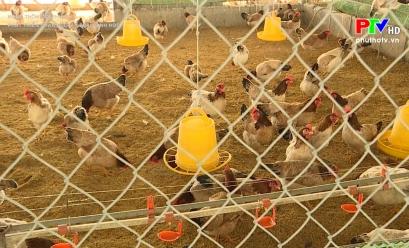 Nông thôn mới Phú Thọ - Phát triển chăn nuôi an toàn sinh học