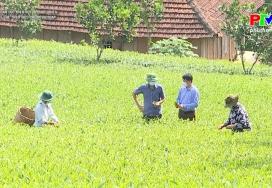 Sản xuất chè theo tiêu chuẩn VietGap