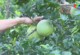Nông nghiệp Phú Thọ: Đẩy mạnh chăm sóc bưởi