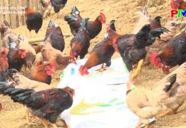 Liên kết chăn nuôi gà