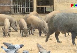 Hiệu quả mô hình chăn nuôi lợn rừng lai