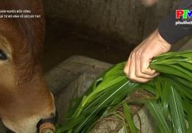 Hiệu quả từ mô hình nuôi vỗ béo bò thịt