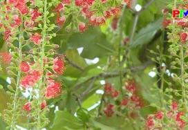 Khoảnh khắc cuộc sống - Mỏng manh cánh hoa Lộc Vừng