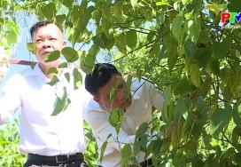 Muôn cách làm giàu: Cây Sachi trên đất đồi