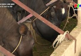 Muôn cách làm giàu: Giàu từ nuôi bò thịt