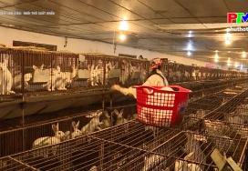 Muôn cách làm giàu: Nuôi thỏ xuất khẩu