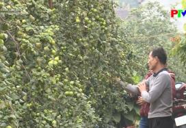 Muôn cách làm giàu - Làm giàu từ trồng táo