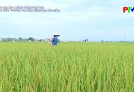 Nhận biết phòng trừ sâu bệnh hại lúa