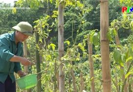 Nông nghiệp Phú Thọ: Phát triển cây chanh leo ở Kiệt Sơn