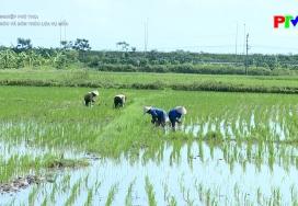 Chăm sóc và bón thúc lúa vụ mùa