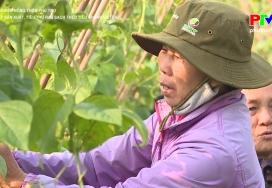 Liên kết sản xuất, tiêu thụ rau sạch theo tiêu chuẩn VietGAP