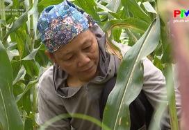 Nông nghiệp Phú Thọ: Liên kết sản xuất tiêu thụ ngô sinh khối