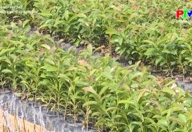 Nông nghiệp Phú Thọ - Phát triển kinh tế từ vườn ươm