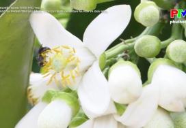 Chăm sóc, phòng trừ sâu bệnh trên cây bưởi giai đoạn quả non