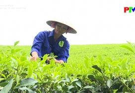 Nông sản an toàn - Gia tăng giá trị sản phẩm chè