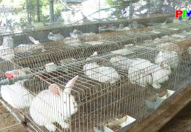 Nông nghiệp Phú Thọ - Liên kết trong chăn nuôi thỏ
