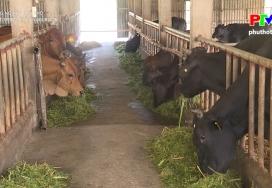 Phát triển chăn nuôi bò 3B