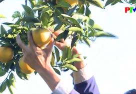 Về vườn cam Tiên Kiên