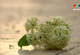 Khoảnh khắc cuộc sống: Nồng nàn hoa sữa