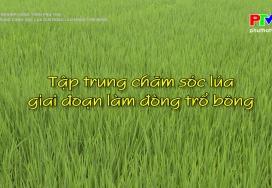Tập trung chăm sóc lúa giai đoạn làm đòng trổ bông