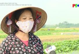 Thâm canh rau vụ đông theo hướng an toàn giá trị cao
