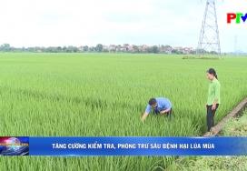 Tăng cường kiểm tra, phòng trừ sâu bệnh hại lúa mùa