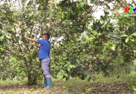 Triển khai kế hoạch trồng mới cây bưởi