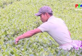 Xây dựng thương hiệu chè xanh Phú Thịnh