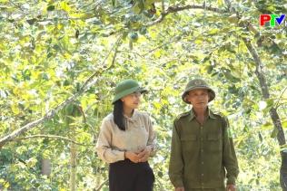 Nông nghiệp Phú Thọ: Cây hồng trên đất Gia Thanh