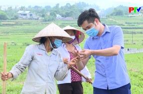Nông nghiệp Phú Thọ: Phát triển cây màu hiệu quả trong vụ mùa